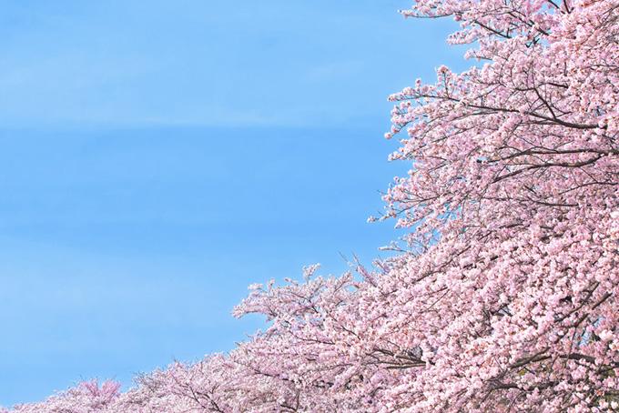 満開のさくらと空(桜 ピンク)