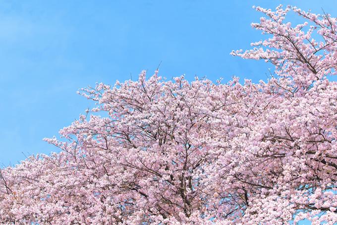 春の空とソメイヨシノ(桜 ピンク)