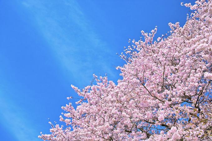 ピンクの桜と空のテクスチャ