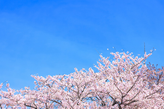 桜と青空のテクスチャ