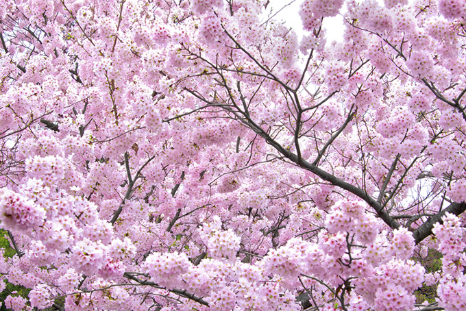 満開のピンクの桜