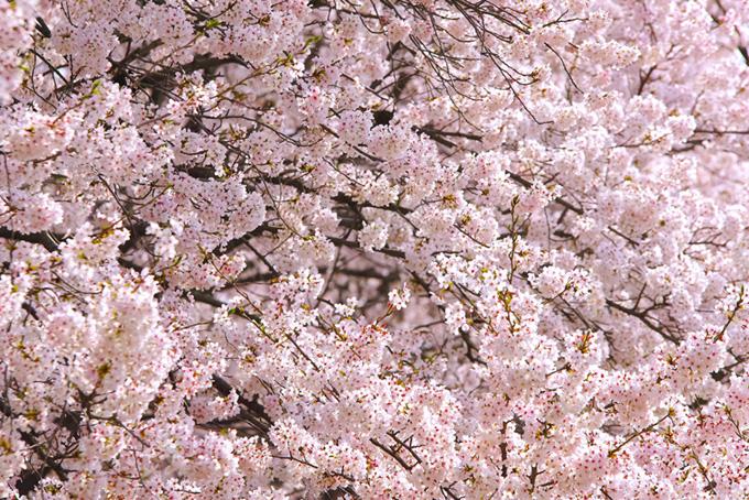 咲き誇る桜の背景