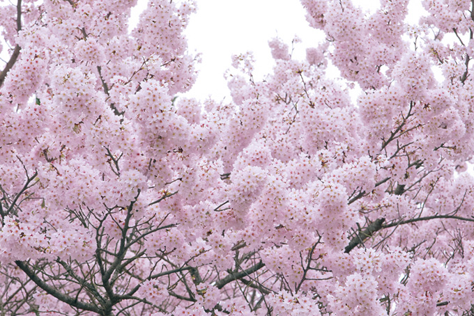 淡いピンクの桜と白い空
