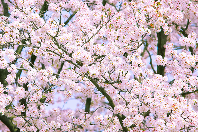 満開のかわいい桜