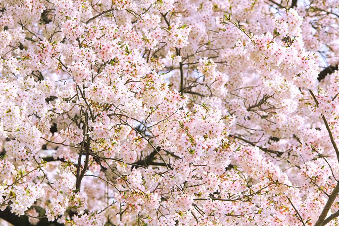 桜の花が咲く春