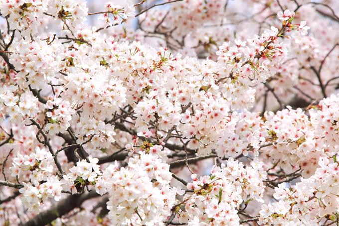 満開の白いサクラの花