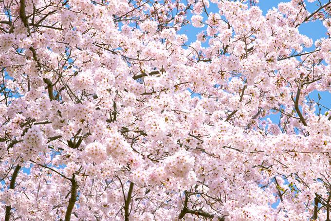 満開の薄いピンク桜と青空