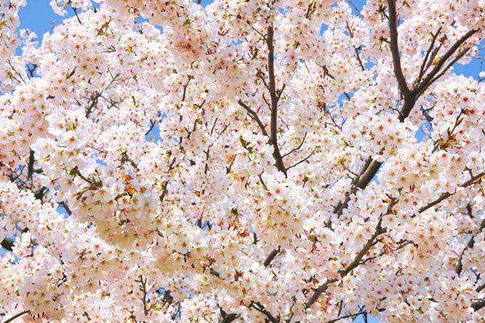 さくらの花が咲く春の背景