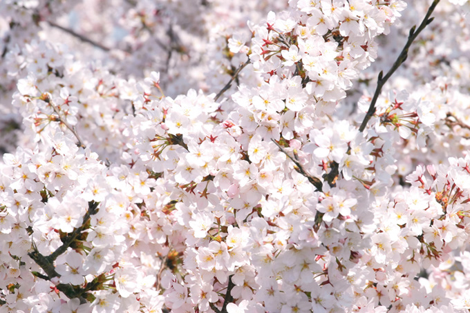 満開の白い桜の花(桜 満開の画像)