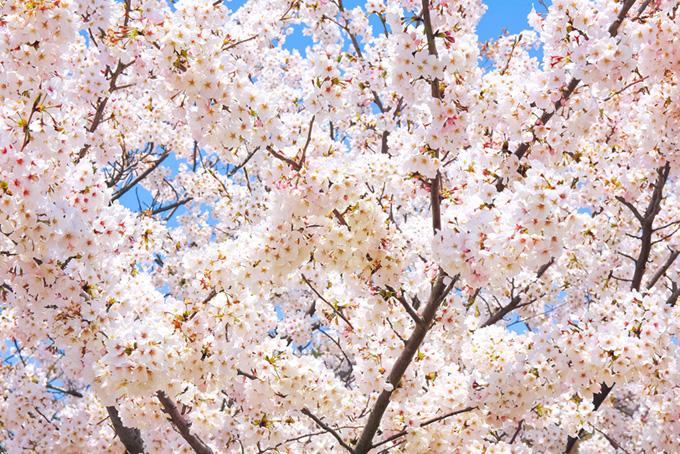 花咲くソメイヨシノ(桜 満開の画像)