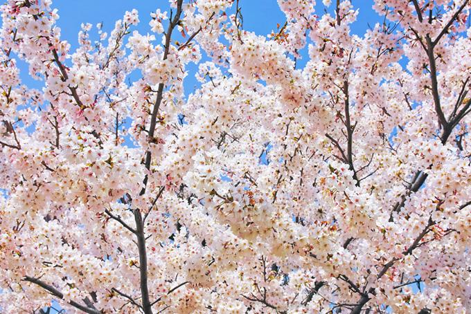 さくら咲く春の背景(桜 満開の画像)