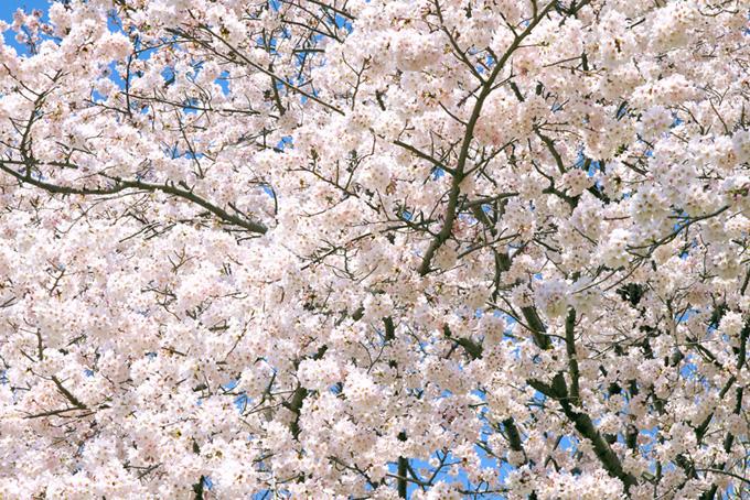 一面の白い桜の花(桜 満開の画像)