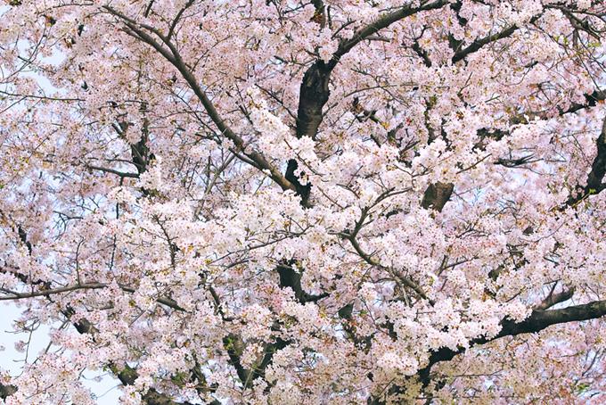 満開の花を付けた桜の木(桜 満開の画像)