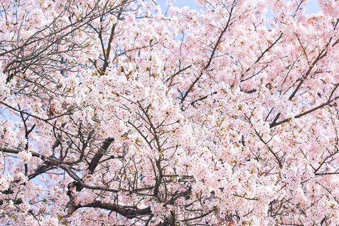 花開く綺麗なサクラ(桜 満開の画像)