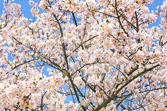 花が咲く桜と青の背景(桜 満開の画像)