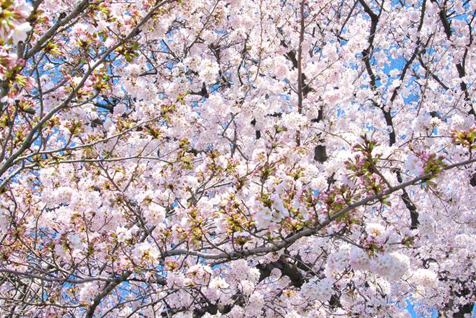 薄紅色の花と沢山のつぼみ(桜 蕾の画像)