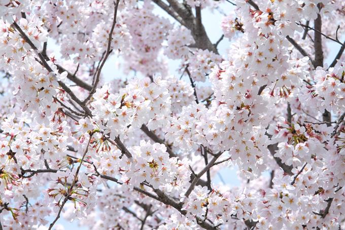 清らかな白い桜の花(桜 満開の画像)