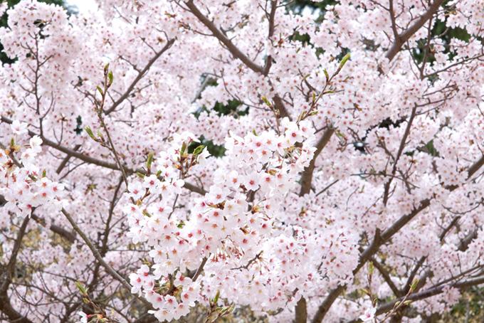 薄紅色のさくらの花(桜 満開の画像)