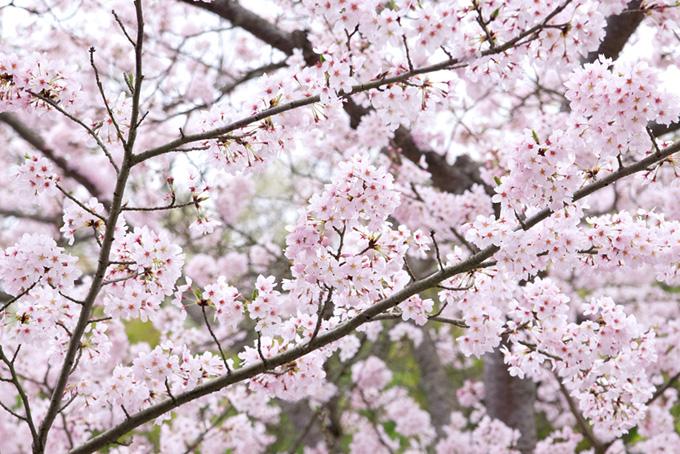 沢山の花を付けた桜(桜 満開の画像)