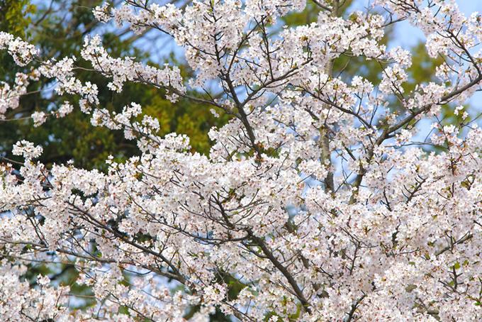 真っ白な桜の花と緑(桜 満開の画像)