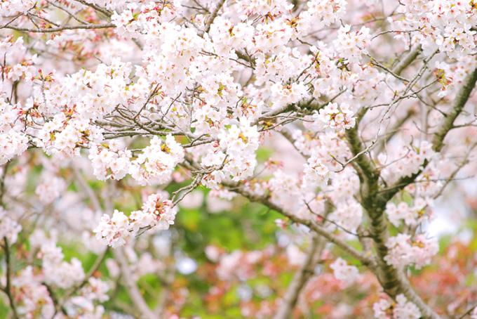 可愛らしい桜の春風景(桜 満開の画像)