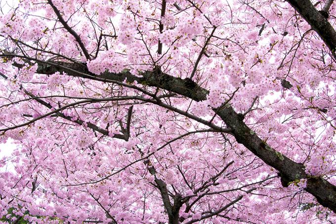 満開のピンクの桜(桜 満開の画像)