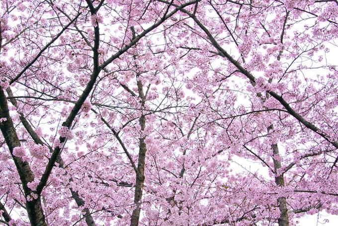 ピンクの桜と白い空の背景(桜 満開の画像)