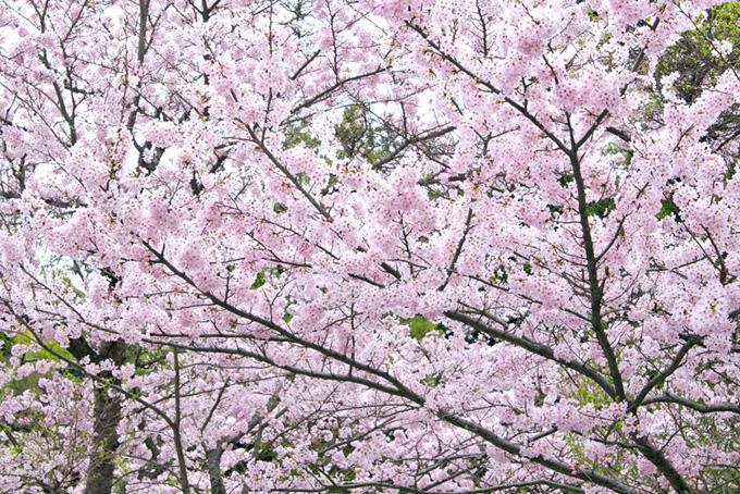 満開の桜と新緑の景色(桜 満開の画像)
