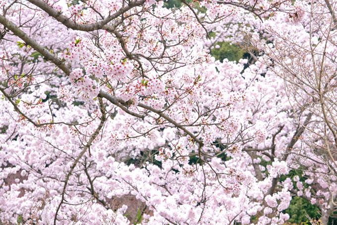 花咲く桜と緑の背景(桜 満開の画像)