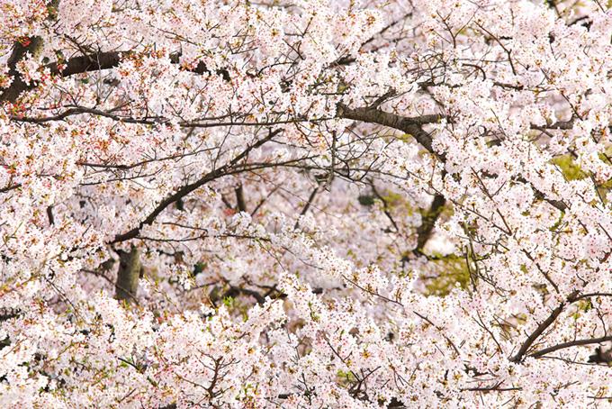 満開の桜の和風背景(桜 満開の画像)
