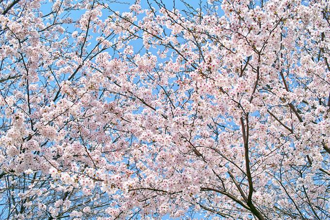 さくらとパステルブルーの空(桜 背景の画像)