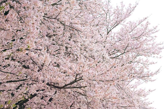 ソメイヨシノと白い春空(桜 背景の画像)