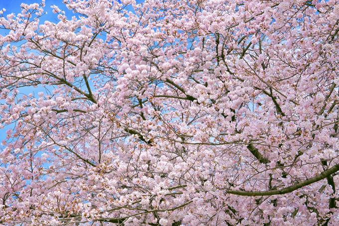 さくらと空の鮮やかな春景色(桜 背景の画像)
