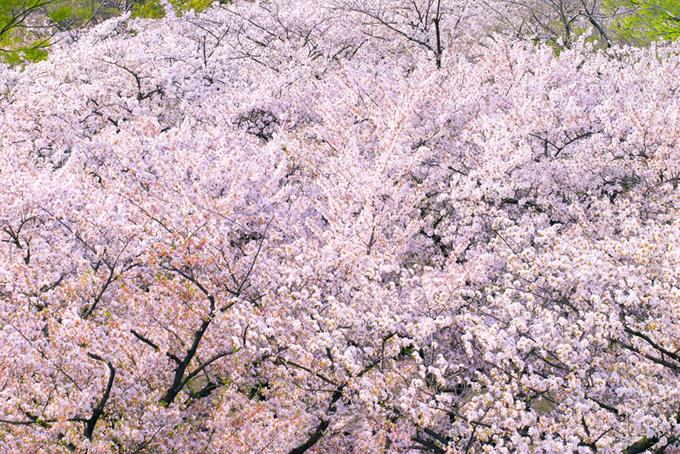 上から見た綺麗な桜林の写真(桜 背景の画像)