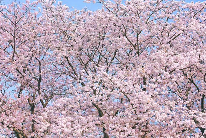 春らしいおしゃれな桜の背景(桜 背景の画像)