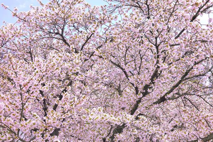春の空と咲き誇る花桜(桜 背景の画像)