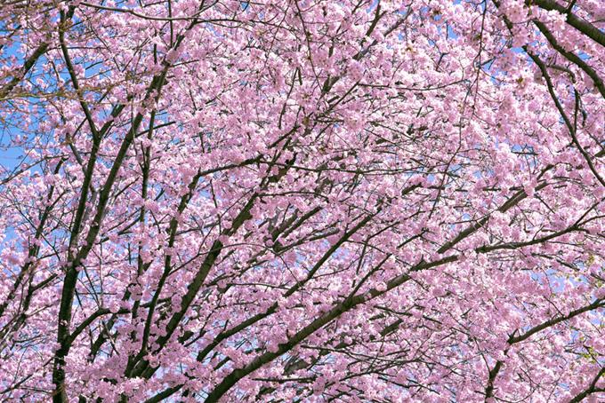 かわいいピンクの桜の木(桜 背景の画像)