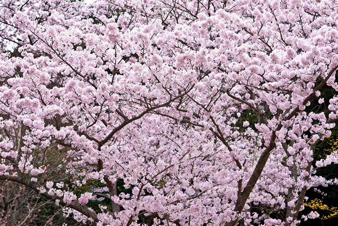 黒い背景に咲く優雅な桜の花(桜 背景の画像)