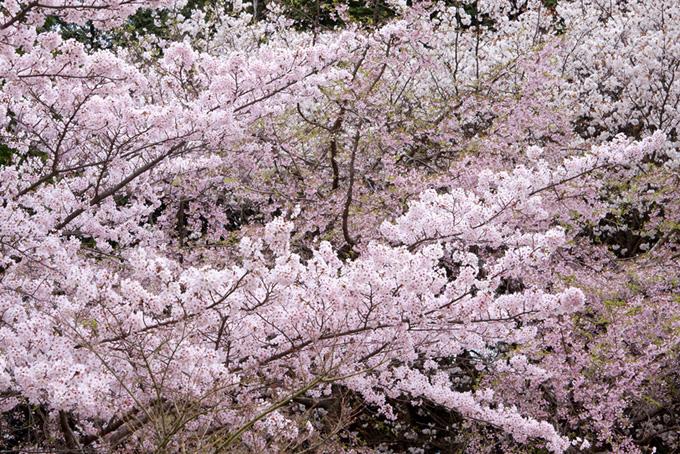 春の桜のおしゃれな和風背景(桜 背景の画像)