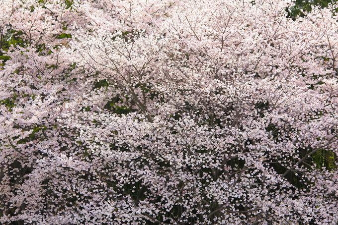 かっこいい花咲く桜の黒背景(桜 背景の画像)