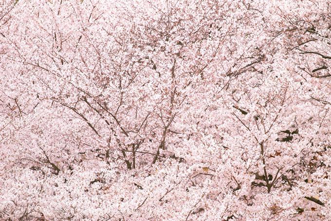 満開の桜の花が一帯に広がる(桜 背景の画像)