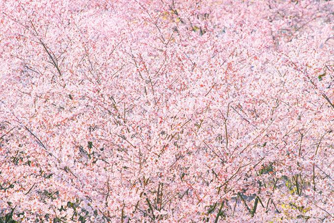 一面に咲く可愛いピンクの桜背景(桜 背景の画像)