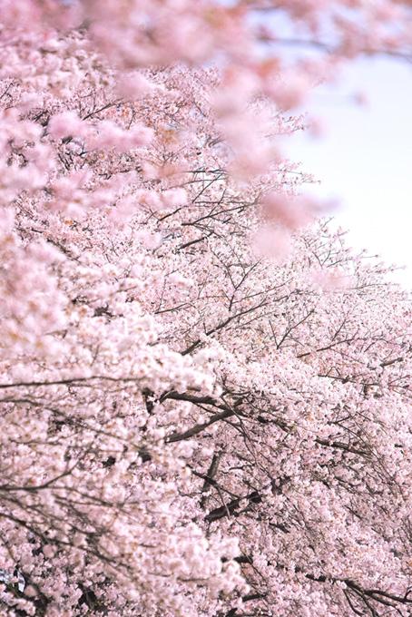 かわいいピンクの桜(桜 待ち受けの画像)