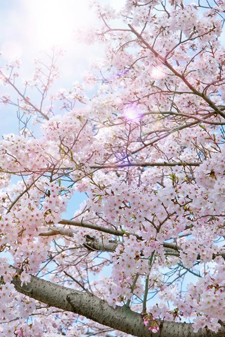 綺麗な春のさくら(桜 待ち受けの画像)