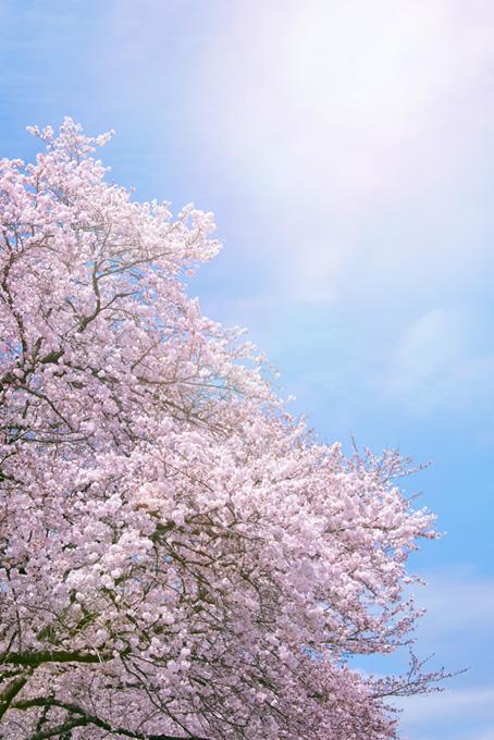 かっこいい桜の景色(桜 待ち受けの画像)