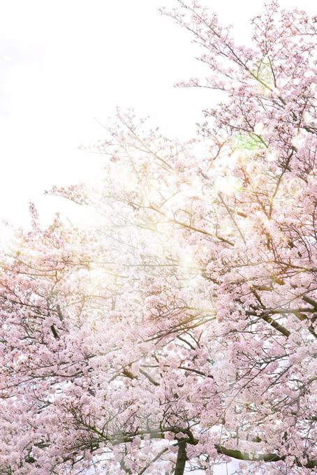春の光と桜(桜 かっこいいの画像)