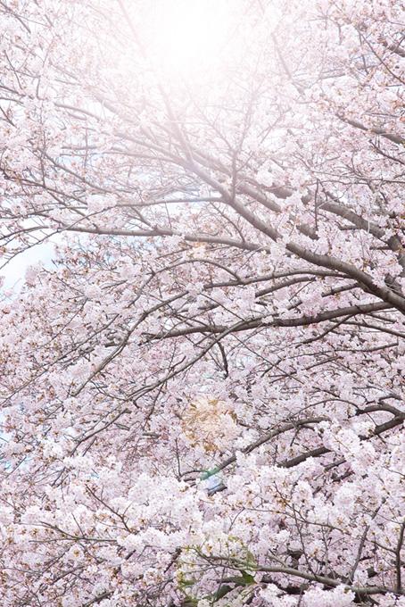溢れる光と桜(桜 かっこいいの画像)