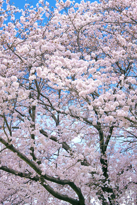 美しい桜の景色(桜 待ち受けの画像)