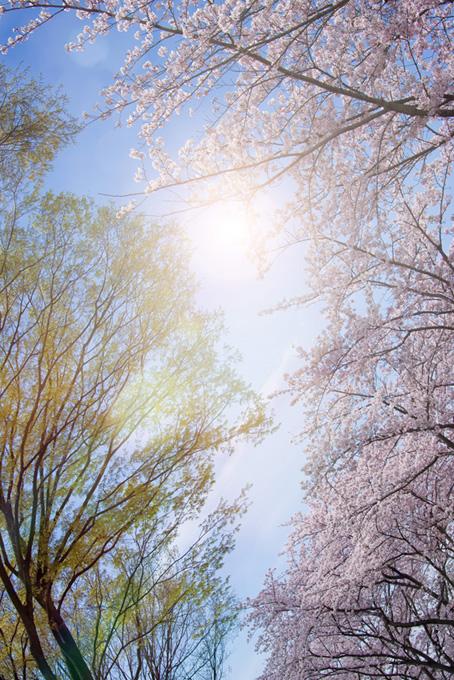 桜並木と太陽(桜 かっこいいの画像)