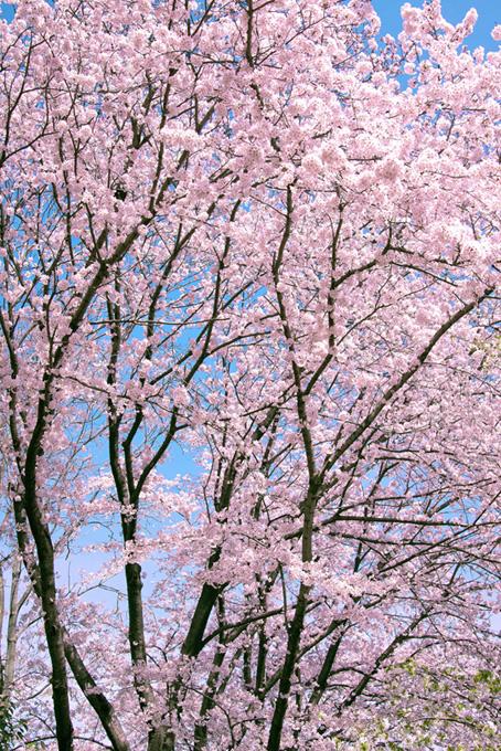 ピンクの花咲くサクラ(桜 待ち受けの画像)